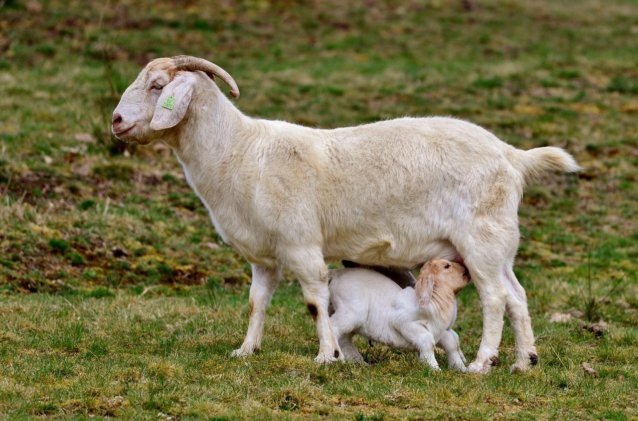 avantages du lait de chèvre bio